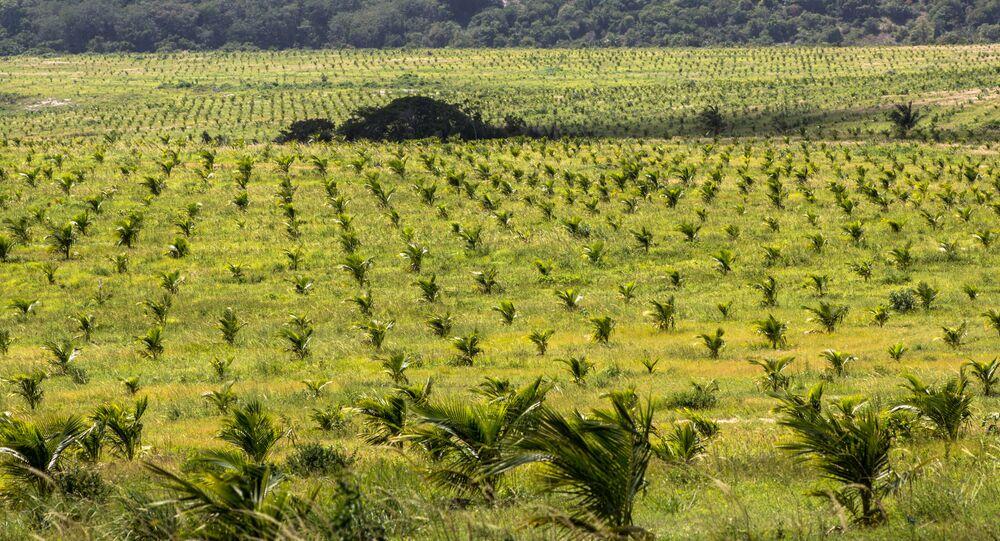 Coqueiral irrigado pelo sistema de microaspersão, em uma fazenda da cidade de Conde, litoral norte da Bahia