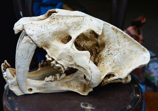 Crânio de dente-de-sabre (imagem referencial)