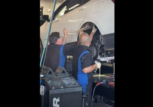 Mecânicos retiram cobra de para-barro de carro