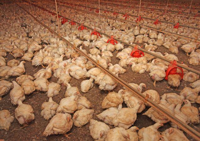 Frangos sendo criados no interior de um aviário em Campo Mourão, Paraná.