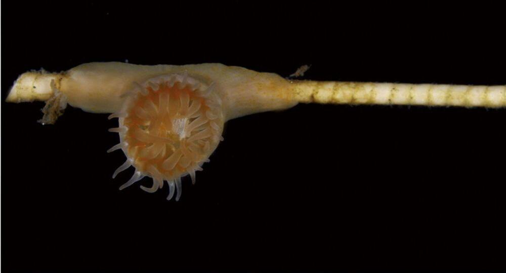 Uma imagem em close-up de pólipo aberto de Metridioidea sp.