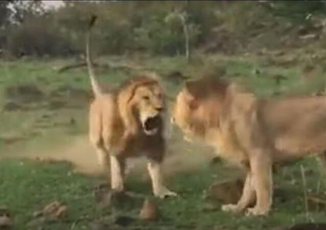 Dois leões lutam para conquistar leoa