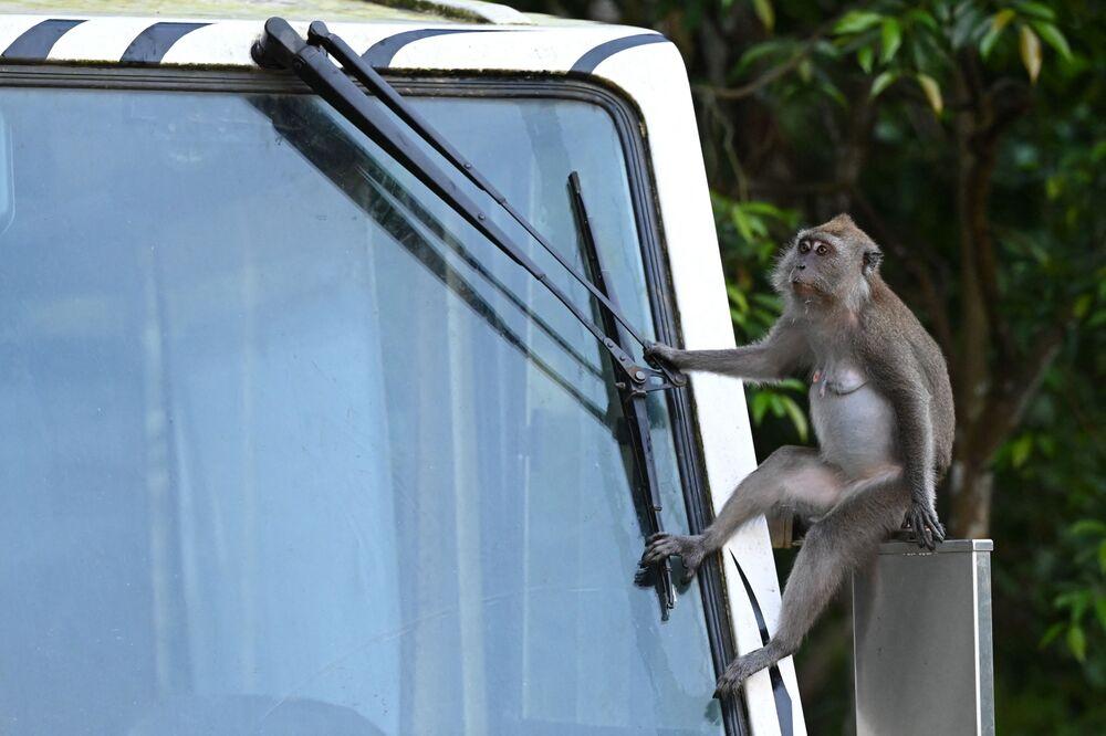 Macaco sentando no espelho lateral de um bonde durante um Safari Noturno em Singapura, 10 de maio de 2021