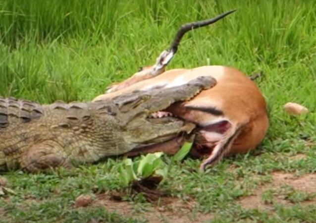 Momentos antes de impala se libertar das mandíbulas de crocodilo faminto