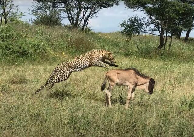 Leopardo pega de surpresa filhote de gnu