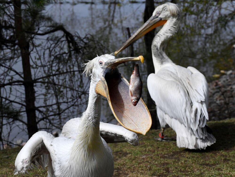 Pelicano apanha peixe das mãos de funcionária em parque russo, na cidade de Krasnoyarsk