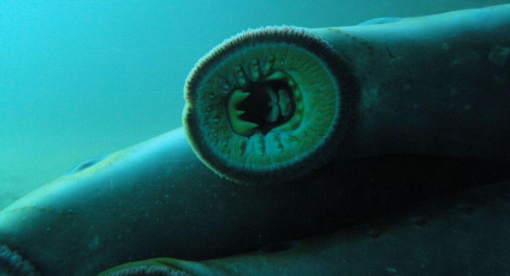 Um exemplar da lampreia do Pacífico