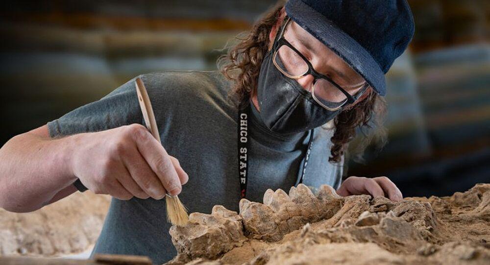 Técnico limpa fóssil de mastodonte encontrado na Califórnia