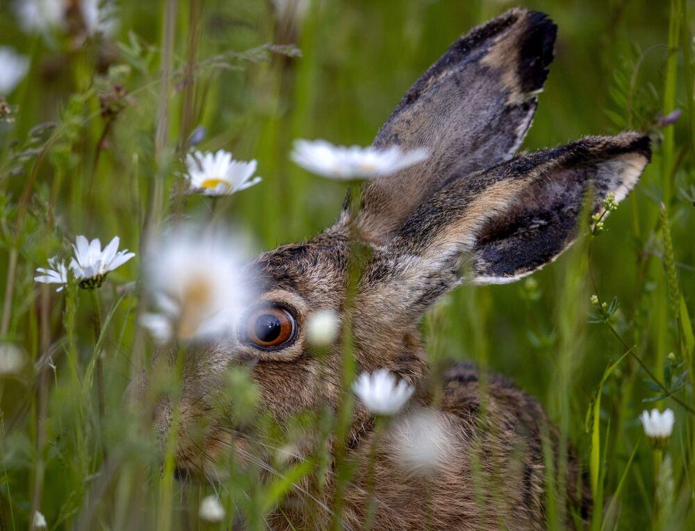 Lebre come na grama nos arredores de Frankfurt, Alemanha, 25 de maio de 2021