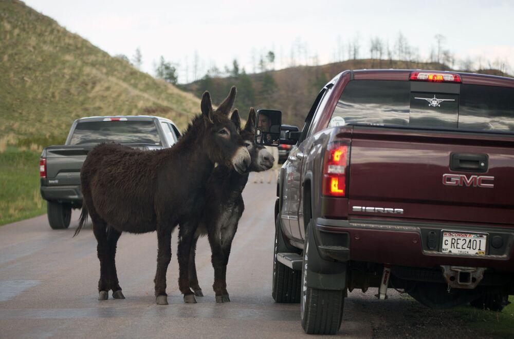 Dois burros param um motorista no Parque Estatal de Custer, Estados Unidos, 25 de maio de 2021