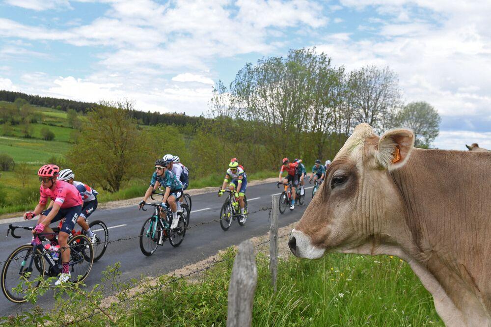 Ciclistas passam por uma vaca durante a competição Critérium du Dauphiné, nos Alpes franceses
