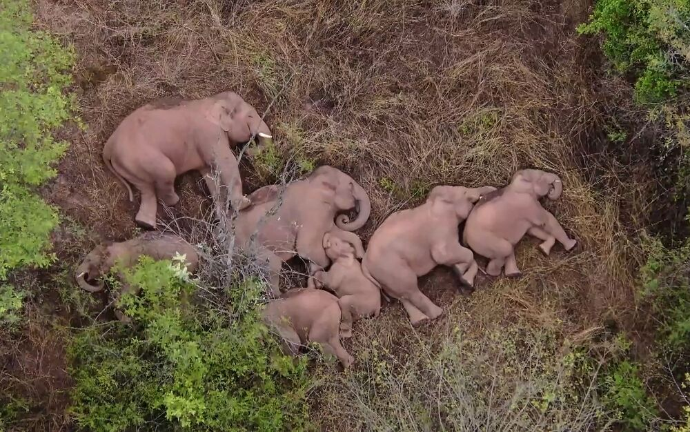 Manada de elefantes que viajou 500 quilômetros para norte de seu habitat natural descansa em floresta perto de Kunming, província de Yunnan, da China, 7 de junho de 2021