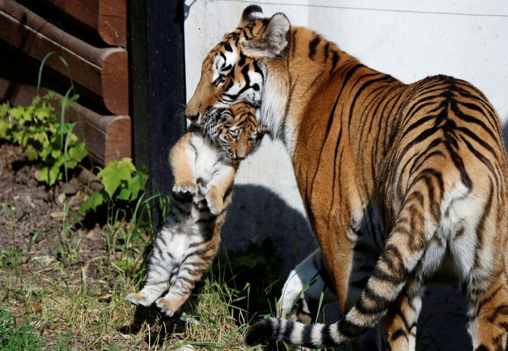 Fêmea de tigre-siberiano segura cria recém-nascida no zoológico de Plock, Polônia, 7 de junho de 2021