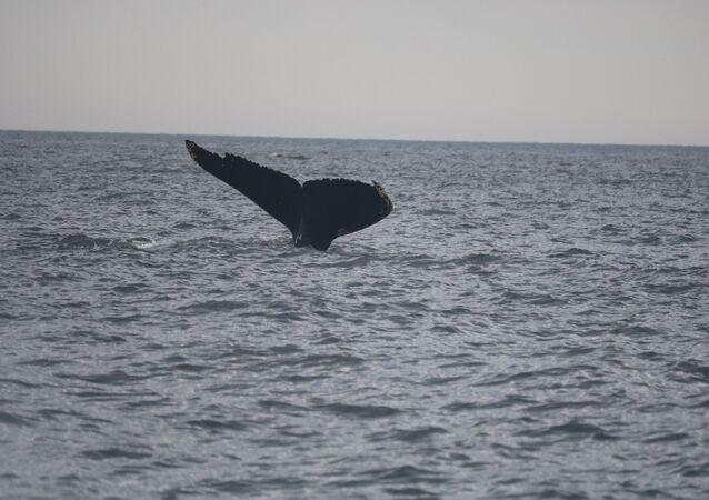Baleia (imagem referencial)