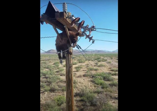 Urso preso em poste de eletricidade no Arizona, nos EUA