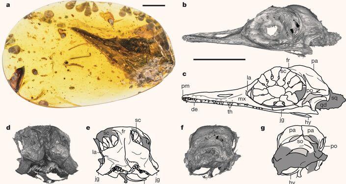 Fotos, imagens de escaneamento de tomografia computadorizada e desenhos de Oculudentavis khaungraaea