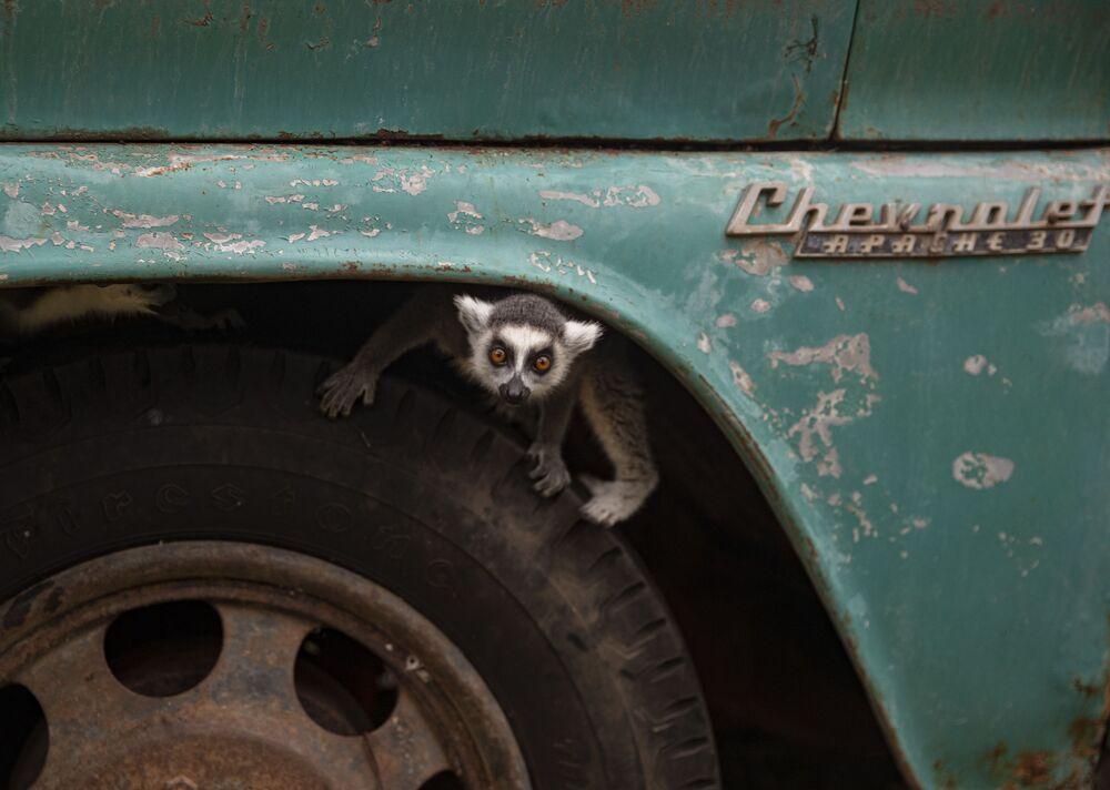 Lêmure de cauda anelada espreita de roda dianteira de caminhão no Zoológico Buin em Santiago, Chile, 15 de junho de 2021