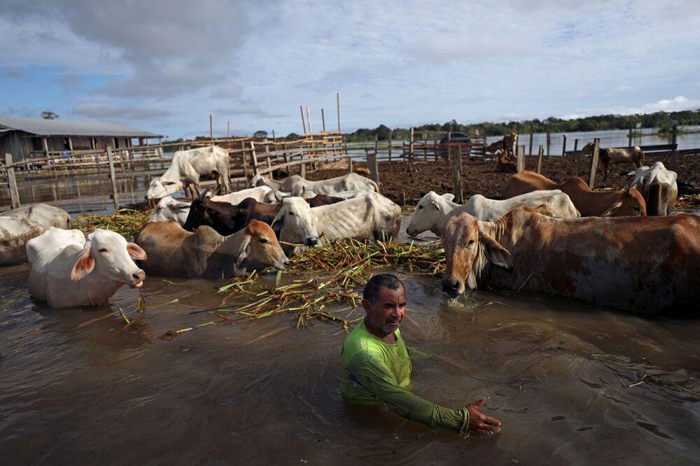 Homem alimenta gado nas margens do rio Solimões, durante inundação do município rural de Manacapuru, no estado do Amazonas, Brasil, 17 de junho de 2021