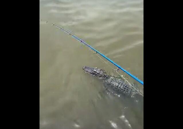 Jacaré nadando em rio no estado norte-americano do Louisiana