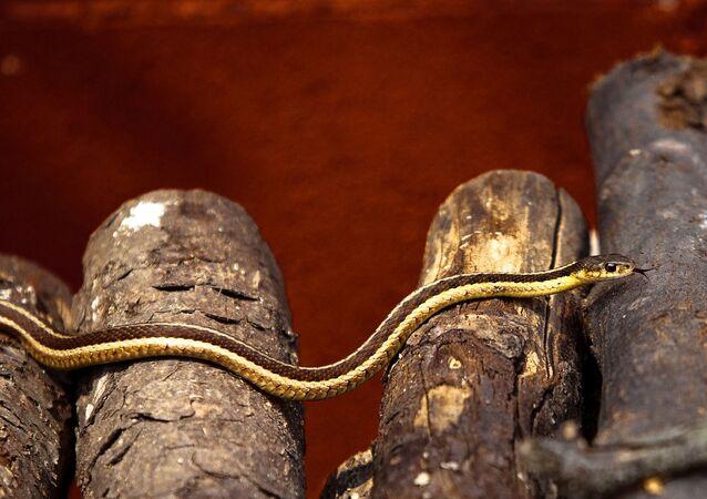 Cobra de madeira
