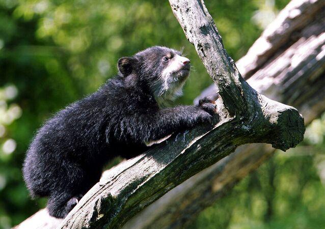 Jovem urso-de-óculos sobe em uma árvore em seu recinto no zoológico de Zurique, na Suíça. Foto de arquivo
