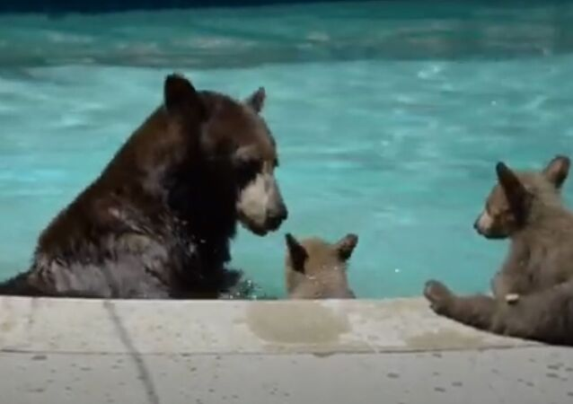 Ursa e suas crias dentro de piscina