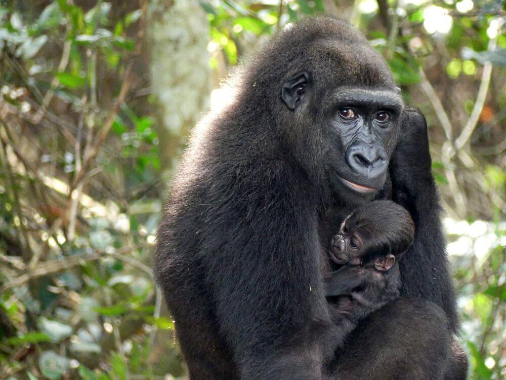 Gorila bebê embalado por sua mãe no planalto de Bateke, Gabão, foto divulgada em 29 de junho de 2021