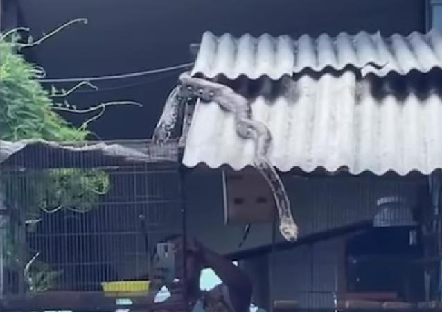 Cobra realiza mergulho de 6 metros para não perder jantar na Tailândia