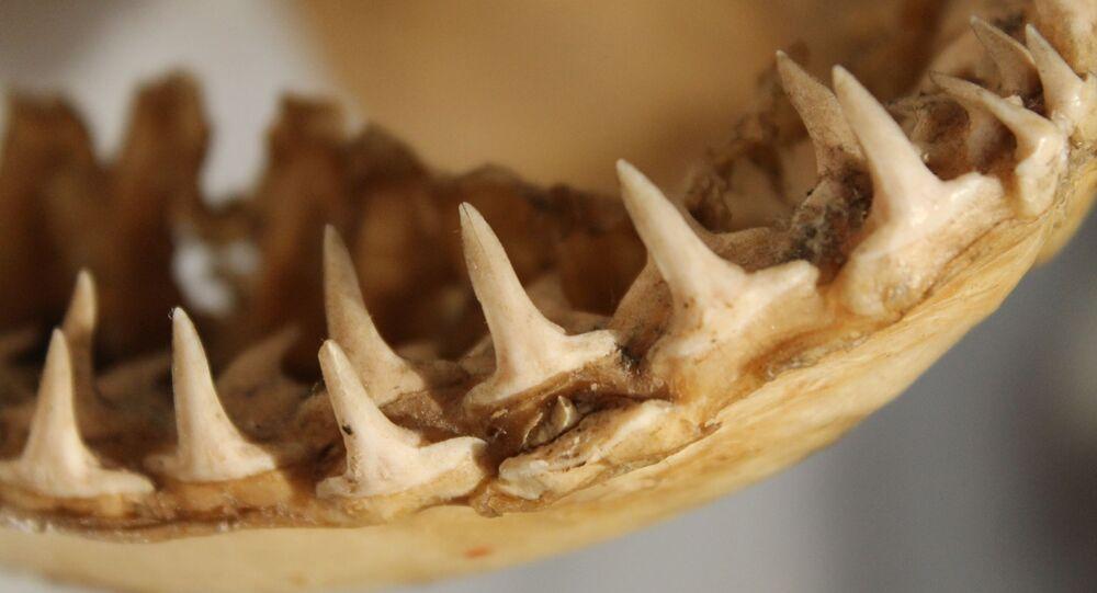 Dentes de tubarão (imagem referencial)
