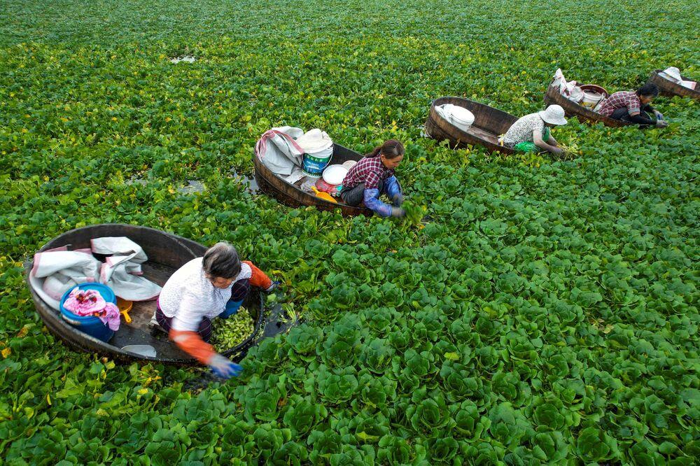 Agricultores coletam castanhas d'água em um lago em Taizhou, na província chinesa de Jiangsu