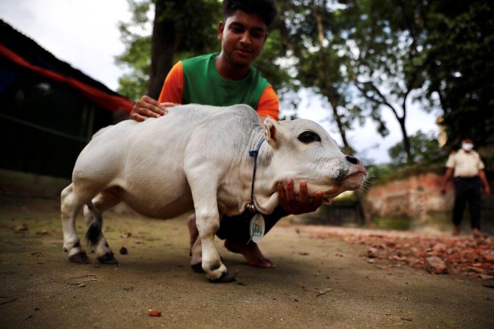 Vaca anã Rani em uma fazenda de Bangladesh