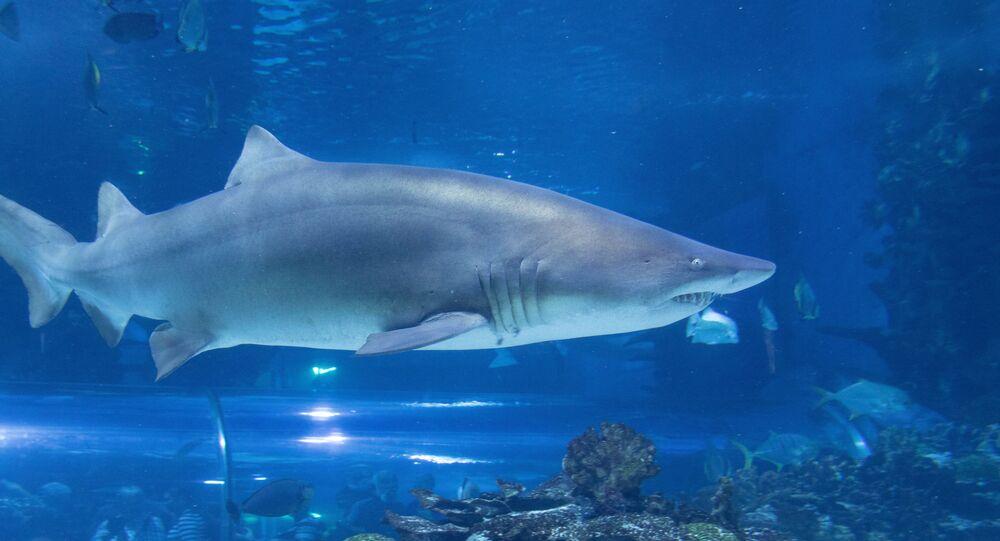 Cação-mangona, ou tubarão-touro (imagem referencial)