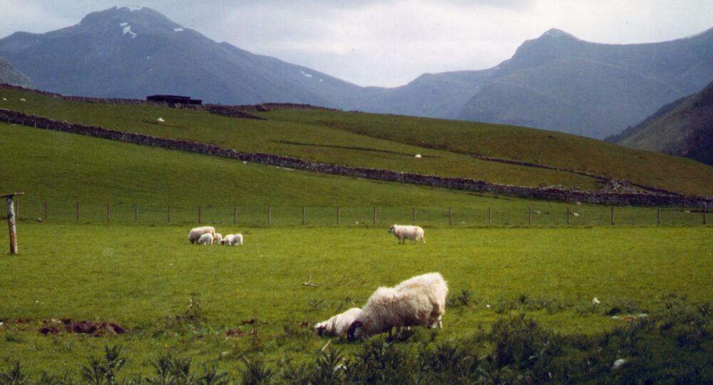 Ovelhas pastam na base de Ben Nevis, Escócia, a montanha mais alta do Reino Unido. Foto de arquivo