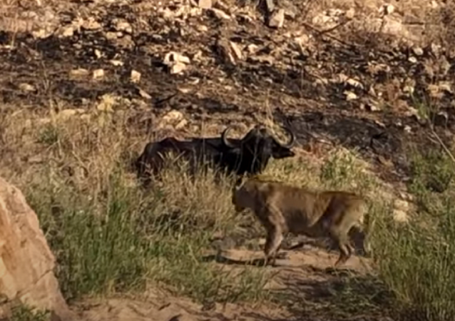 Leoa ataca búfalo