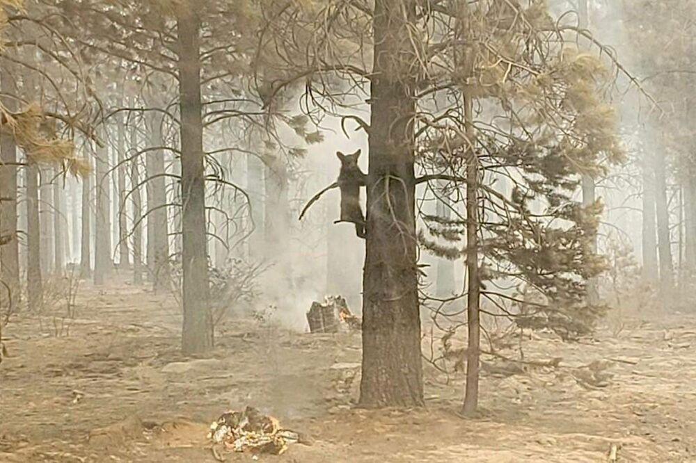 Urso jovem se agarra a uma árvore após ter sido detectado por um agente de segurança no Oregon, Estados Unidos, 18 de julho de 2021