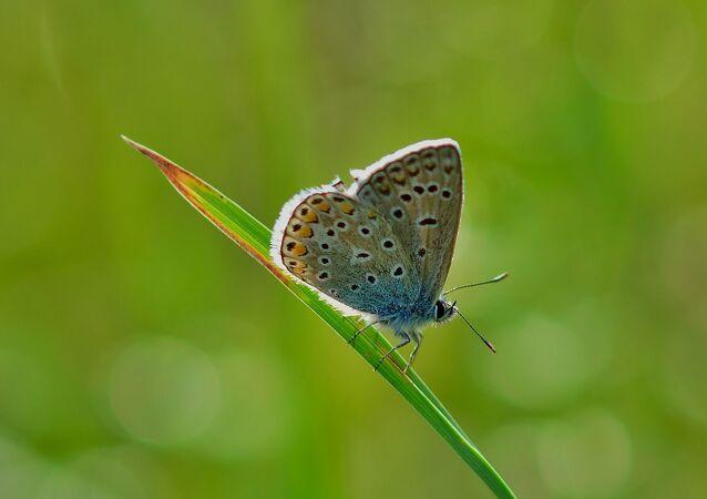 Borboleta azul comum (imagem referencial)