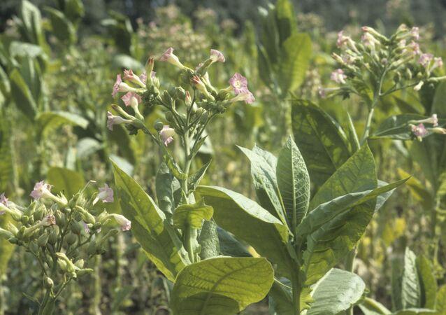 Plantação de tabaco (imagem referencial)