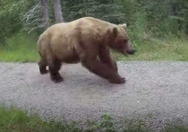 Urso em perseguição