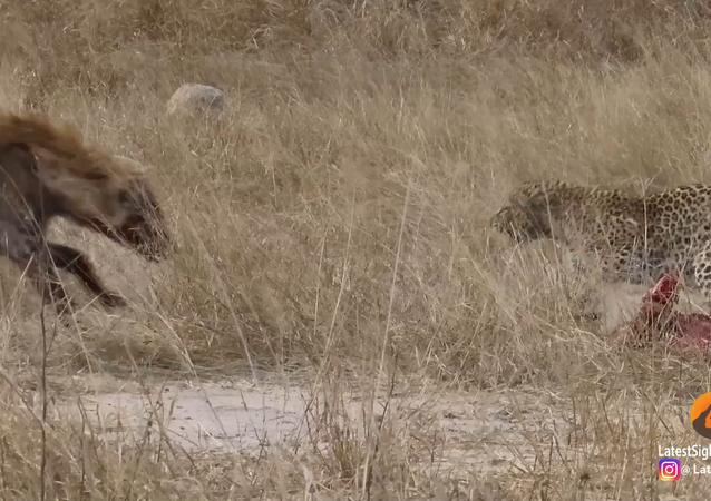Leoparda e hiena lutando (imagem referencial)