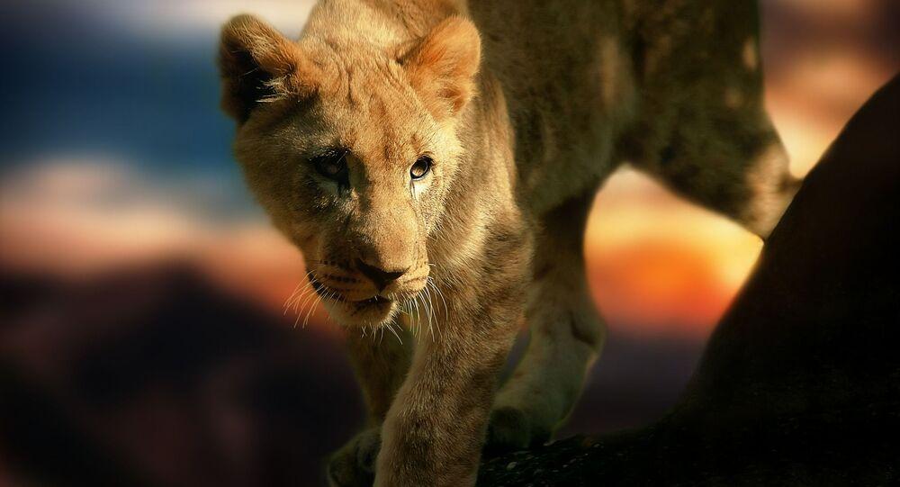 Filhote de leão (imagem referencial)