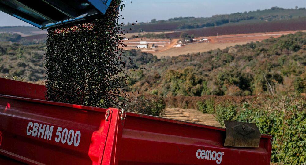 Cerejas de café colhidas são derramadas em um contêiner entre campos de plantações de café que foram afetadas por geadas no estado de Minas Gerais, Varginha, 30 de julho de 2021