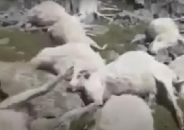 Raio atinge e mata mais de 500 ovelhas na Geórgia