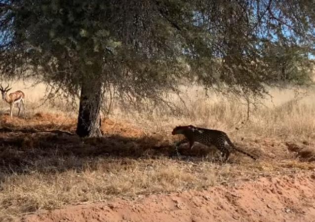 Leopardo ataca gazela