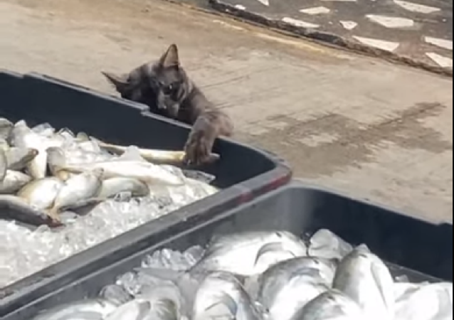 Gato tenta pegar peixe em feira na Tailândia