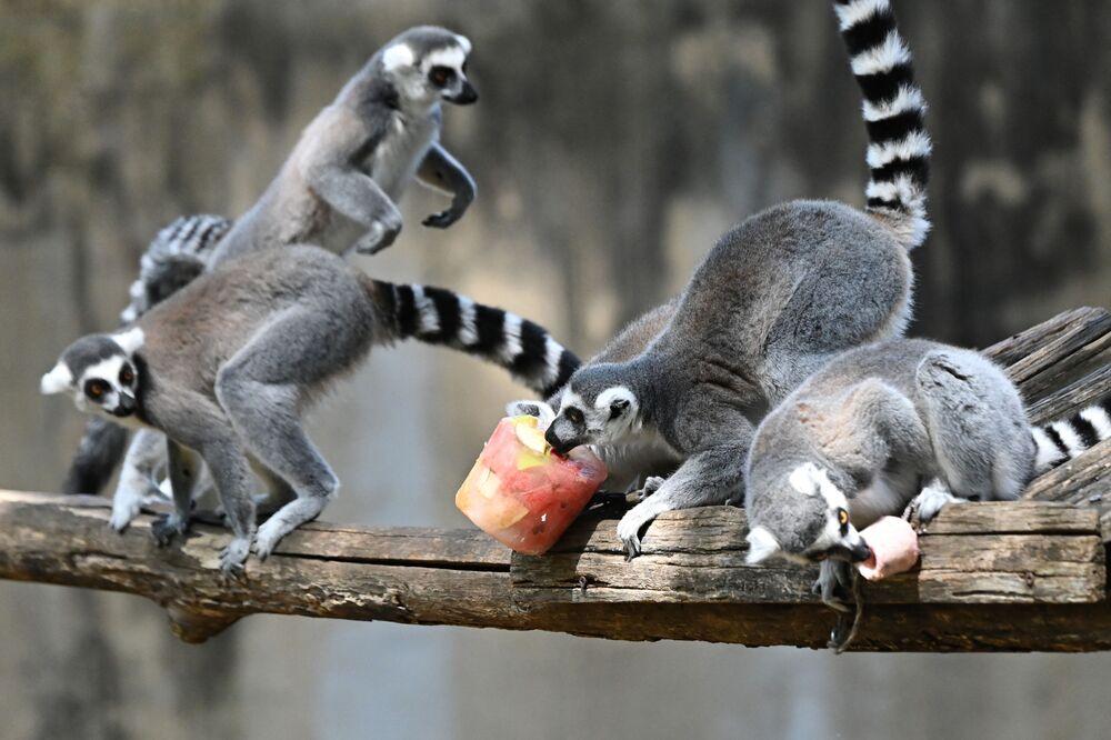 Lêmures comem frutas congeladas para se refrescar no Zoológico de Roma, Itália, 16 de agosto de 2021