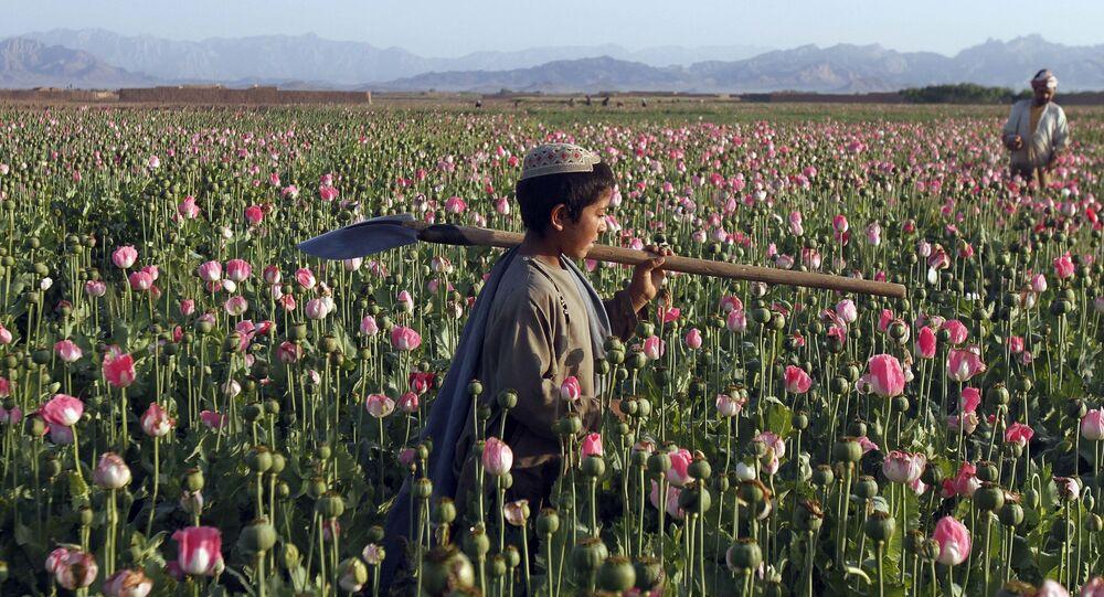 Criança afegã carrega uma pá no ombro enquanto caminha por um campo de papoulas no distrito de Zhari, na província de Kandahar, no Afeganistão (foto de arquivo)