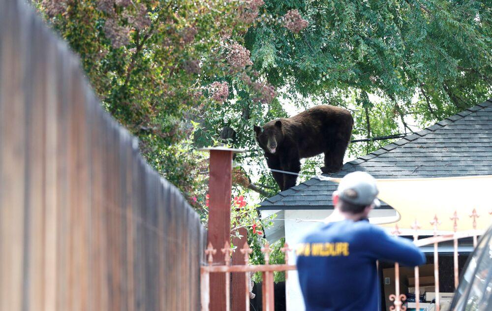 Oficial do Departamento de Pesca e Vida Selvagem prepara-se para tranquilizar um urso em Pasadena, Califórnia, EUA
