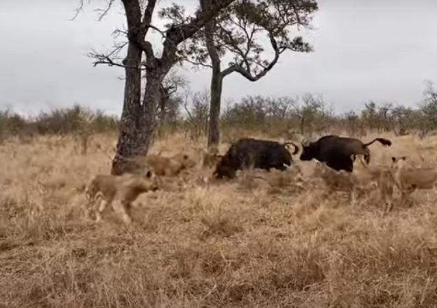 Búfalos duelam com leões