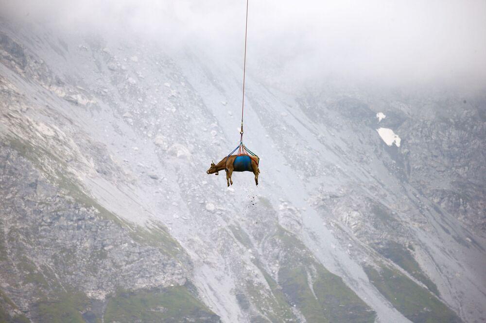 Uma vaca é transportada por helicóptero após os meses de pastagem nas montanhas da Suíça