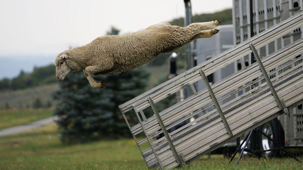 Ovelha salta de um caminhão durante o evento anual Classic Sheepdog Championship nos EUA